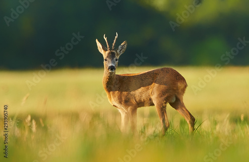 Roe deer (Capreolus capreolus) male Canvas-taulu