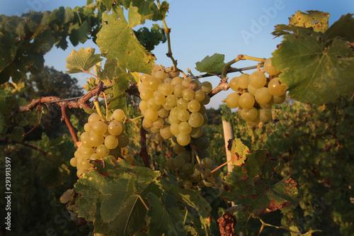 grapesvines6
