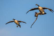 Two Canada Geese Prepare To La...