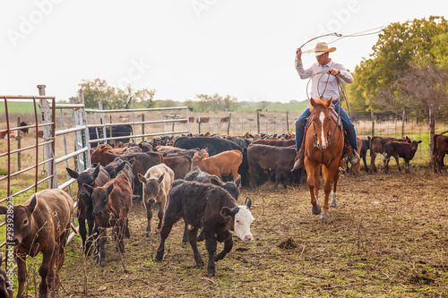 Photo Cowboy roping cattle