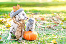 Dalmatian Puppy In A Warm Hat Sitting With A Kitten On Autumn Foliage With A Pumpkin. Empty Space For Text