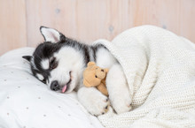 Sleeping Siberian Husky Puppy ...