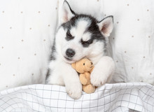 Sleeping Siberian Husky Puppy Embracing Toy Bear On Pillow Under Blanket. Top View