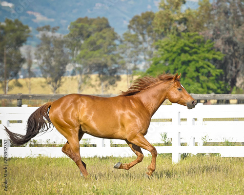 Quarter Horse Gelding cantering