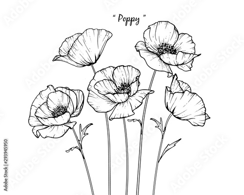 Sketch Floral Botany Collection. Poppy flower drawings. Black and white with line art on white backgrounds. Hand Drawn Botanical Illustrations.Vector. - 293945950