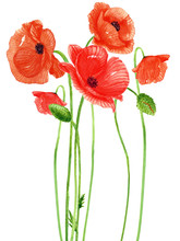 Poppy Flower Watercolor Painting On White Backgrounds. Hand Drawn Botanical Paintings.Vector.