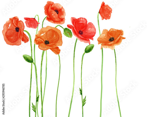 fototapeta na ścianę Poppy flower watercolor Painting on white backgrounds. Hand Drawn Botanical Paintings.Vector.