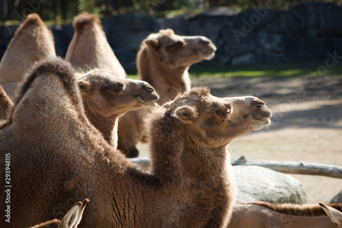 Spoed Fotobehang Kameel Three Camels, all facing right