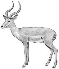 Impala Illustration, Drawing, Engraving, Ink, Line Art, Vector