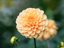 Pompon Or Ball Dahlias | Beaut...