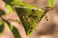 Green Ants (Oecophylla Smaragd...