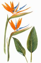 Watercolor Strelitzia Flowers Illustration