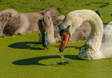 Swan With Young Ones Looking F...