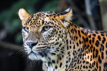 Sri Lanka, Ceylon Leopard, Pan...