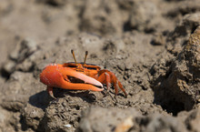 The Flame-backed Fiddler Crab,...