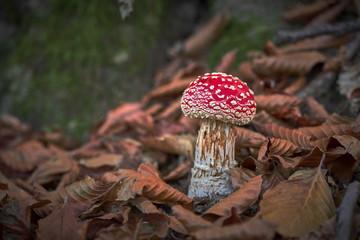 Funghi velenosi in Piemonte