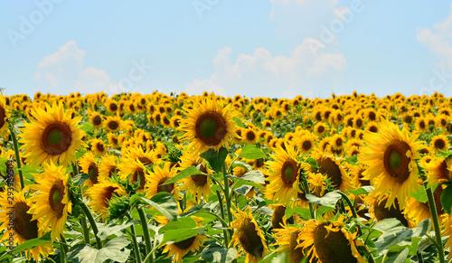 Foto auf Gartenposter Landschappen sunflower field of sunflowers