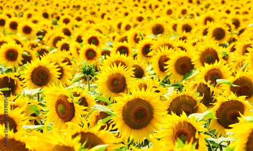 Fototapeta sunflower field background