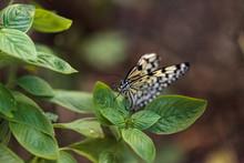 Tree Nymph Butterfly Idea Mala...