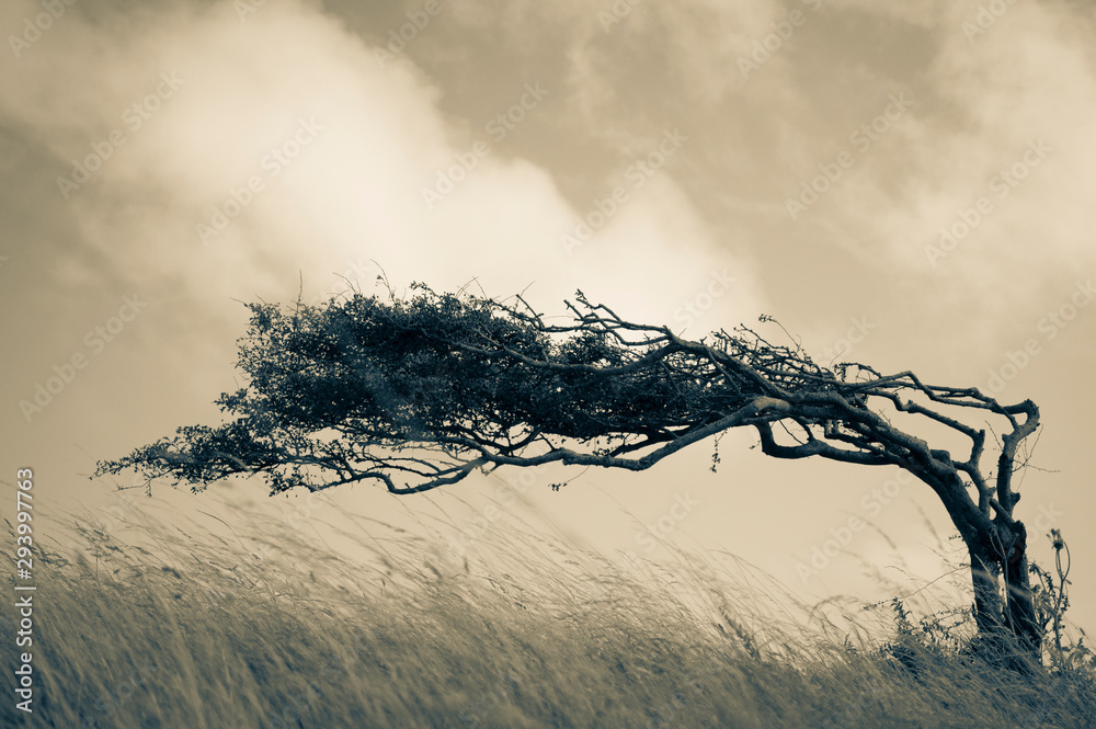 Fototapeta Resilient Lone Tree Bends in the Wind