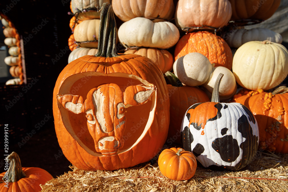 Fototapeta Orange pumpkins at outdoor farmer market. Halloween pumpkins