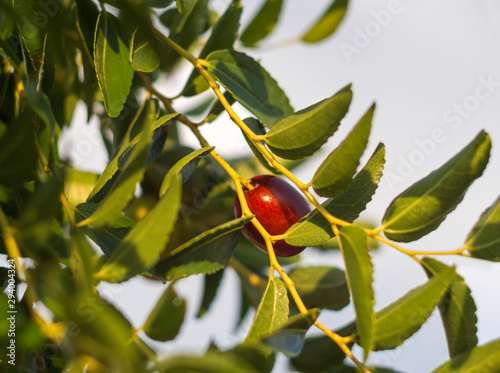 Simmondsia chinensis - jojoba - immature pilaf on a tree on a Sunny day Tablou Canvas