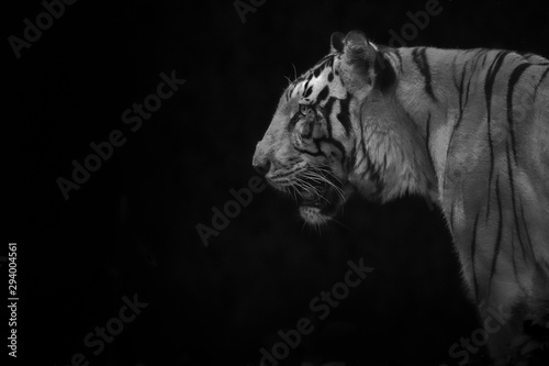 Keuken foto achterwand Tijger dramatic close up head of a Male tiger profile in low key light