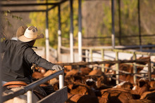Rancher Preparing To Weigh And Ship Cattle