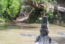Alligator Jumping For Food