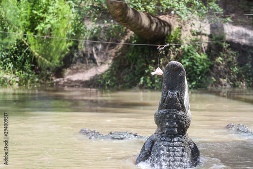 Photo Alligator Jumping for Food