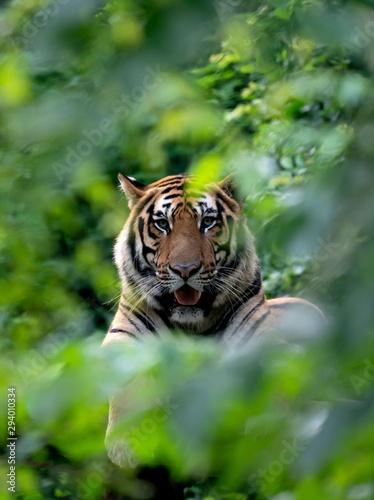 Photo bengal tiger resting among green bush