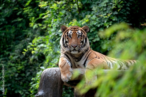 Fotografia bengal tiger resting among green bush