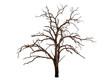 Leinwanddruck Bild - dead bare tree on white