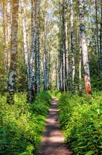 Path In Birch Forest