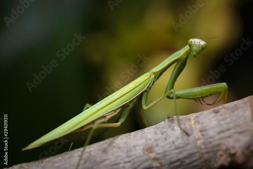 Fototapeta  Praying mantis in the wild - Mantis religiosa