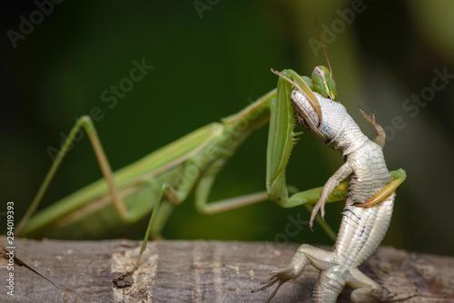 Praying mantis eating lizard - Mantis religiosa Wallpaper Mural