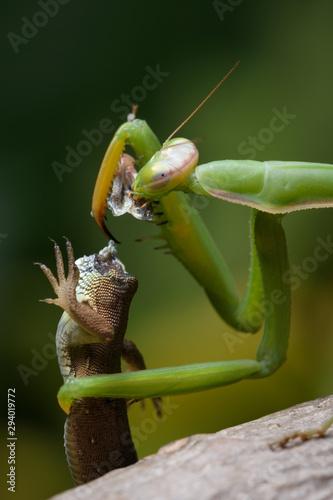 Fototapeta  Praying mantis eating lizard - Mantis religiosa