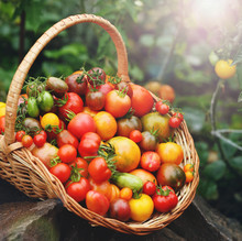 A Rich Harvest Of Tomatoes In A Basket
