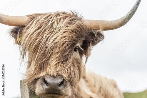 Fototapeta Highland Cow  obraz