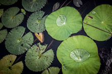 Lotus Leaf In A Pond, Kampong ...