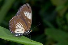 Courtesan Butterfly At Garo Hi...