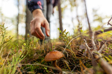 Woman Picking Mushroom In The ...