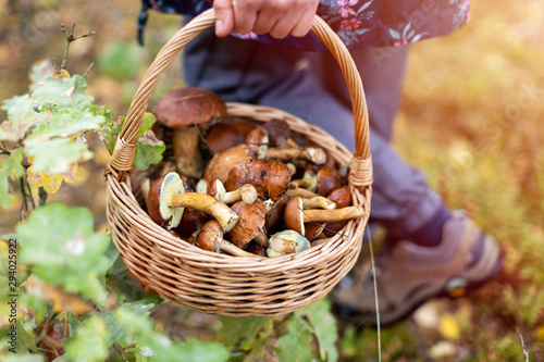 Fotografia Woman picking mushroom in the forest