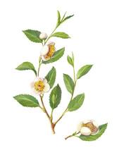 Green Tea Plant Pencil Illustr...