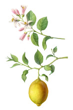 Lemon Tree Fruit And Flowers H...