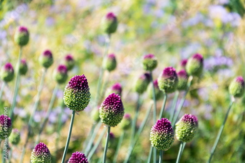 Beautiful purple green blooming round-headed garlic flower, allium sphaerocephal Fototapet