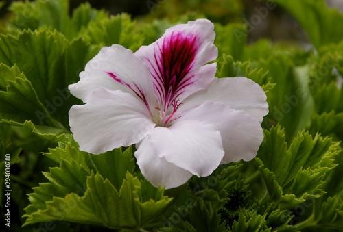Photo sur Toile Pays d Asie pretty flower of geranium potted plant close up