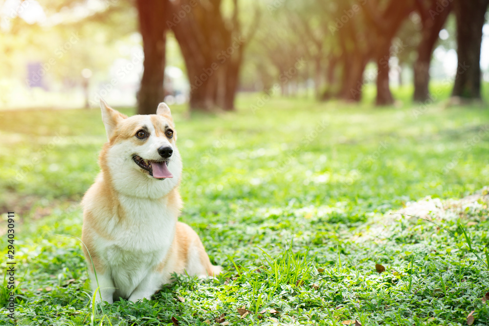 Fototapety, obrazy: Corgi dog on the grass in summer sunny day