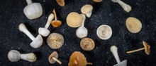 Wide Image Of Different Kind Of White And Brown Small Mushrooms, Fresh Fungi From The Garden. Spread Out On Dark Background. Top View. Autumn Theme.