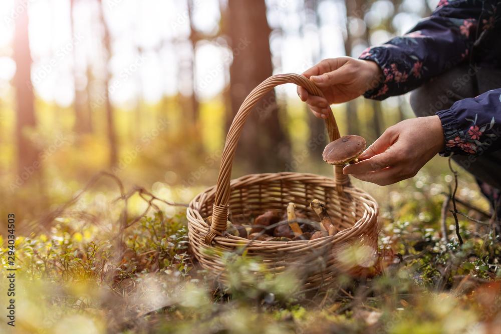 Obraz Woman picking mushroom in the forest fototapeta, plakat